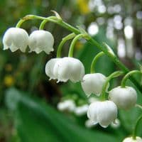 Ready Potted 1 Litre Pot   CONVALLARIA MAJALIS LILY OF THE VALLEY